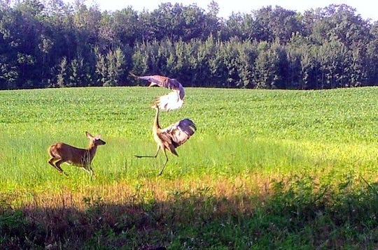 Bob's Critter cam catches fawn scaring sandhill cranes, or did the cranes scare the fawn?