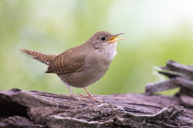 A house wren may be small but has a large voice.