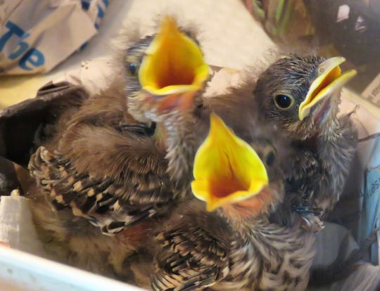 Orphaned wren nestlings at wildlife rehab center.