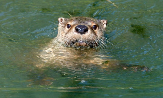 You clicked on this story expecting to see photos of cute little otters. Although Seukula did not spot any on her kayak trip, we would hate to deprive you. So please enjoy a photo of one swimming in a German zoo.