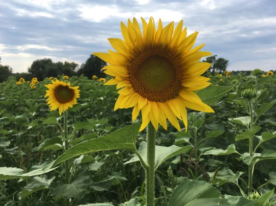 Sunflowers fill a St. Albans field on Aug. 3, 2019.
