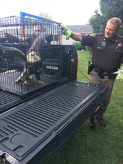 Injured bald eagle found in Huron County.