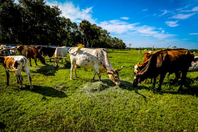Longhorn cattle roam a field at Rosy Tomorrows Heritage Farm in North Fort Myers.
