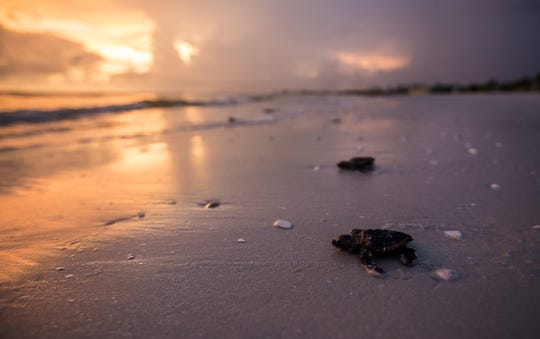 Baby loggerhead sea turtles rescued from nests on Friday August 2, 2019 are released into the Gulf of Mexico by Turtle Time founder Eve Haverfield on Friday evening on Fort Myers Beach. Every morning volunteers with Turtle Time and other organizations check nests for hatchlings on Southwest Florida beaches. The hatchlings are gathered and turtles released in the evenings. So far this has been a banner year for sea turtles. Last year at this time tons of dead sea turtles were washing on our shores succumbing to red tide.