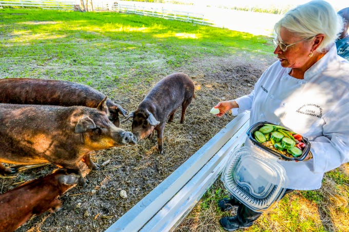 Rose O'Dell King gives leftover vegetables from Rosy Tomorrows' restaurant to her Red Wattle hogs. Red Wattles are a heritage breed that Rosy's has show can thrive in Florida's heat.