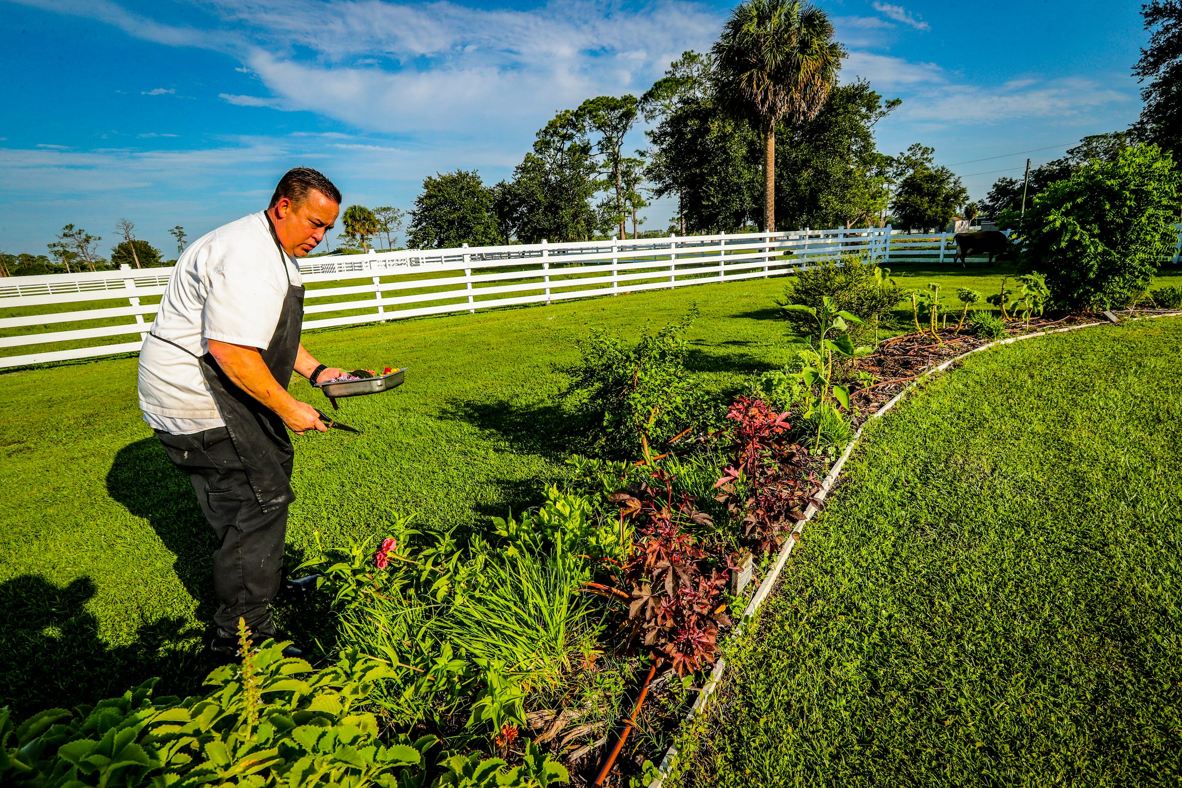 Chef Rich Howze harvests edible flowers and herbs from the kitchen's surrounding gardens to garnish his plates at Rosy Tomorrows Heritage Farm in North Fort Myers.