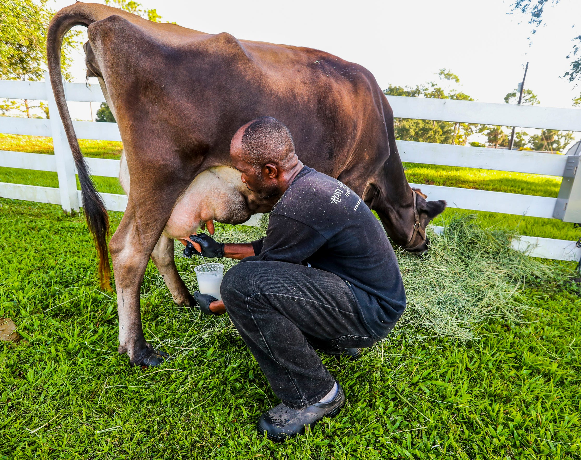 Seligny Jacsaint, a farm assistant at Rosy Tomorrows, milks Brie, the farm's Jersey dairy cow. Brie's milk is used to make the yogurt, ricotta and ice cream at Rosy's on-farm restaurant.