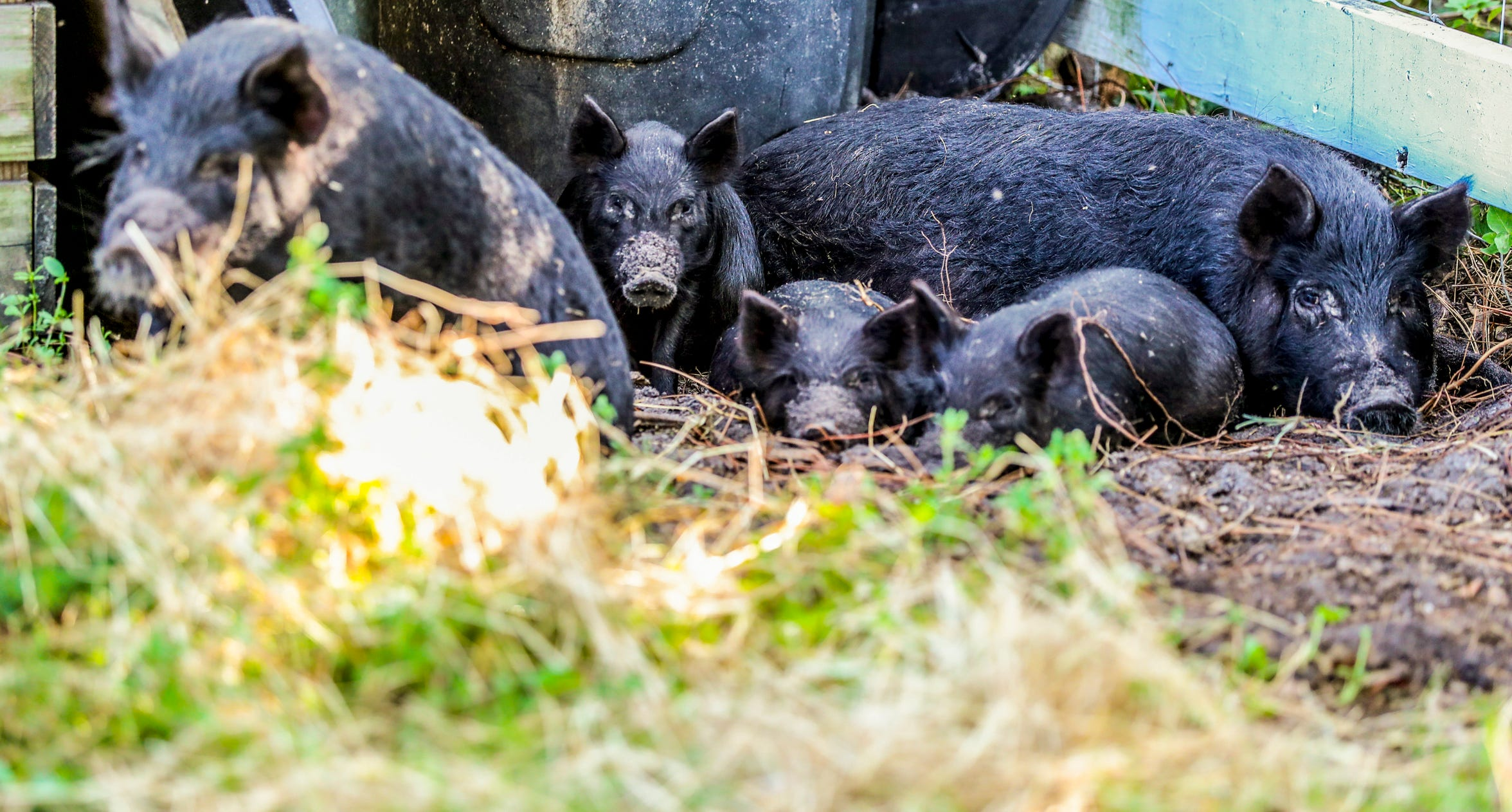 American Guinea hogs are new to Rosy Tomorrows Heritage Farm. Owner Rose O'Dell King hopes this rare breed will thrive in Southwest Florida, like her Red Wattle hogs have.