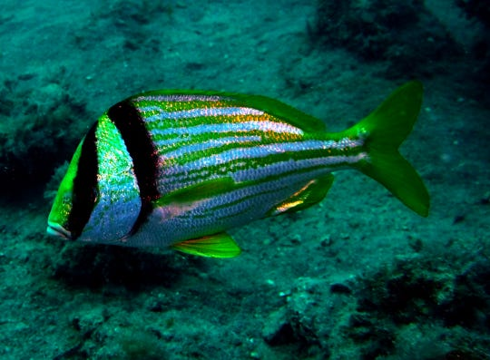 A porkfish photographed at the rubble pile dive spot during a dive in May. Scuba Marco offers divers the chance to experience scuba diving at reefs and wrecks right off the island's shores.
