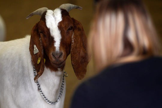 A goat show spectator keeps her eyes on a run-away goat, Monday, Aug. 14, 2017 during the goat show at the San Juan County Fair at McGee Park in Farmington.