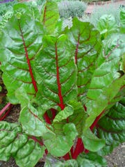 The mildest, fastest and easiest pot green is Swiss chard, available in white or red stems.