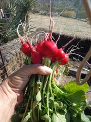 Radishes and carrots are the fastest of all root crops for people and pets.
