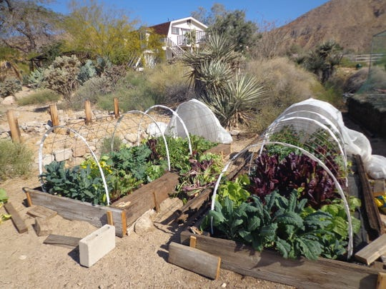 Kale and lettuce varieties thrive in the desert winter under row covers.