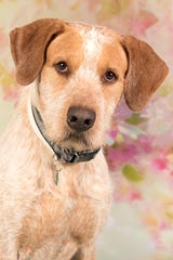 Indiana Jones is available for adoption at 952 W. Melody Ave. in Gilbert. For more information, call 480-497-8296 or e-mail FFLdogs@azfriends.org.