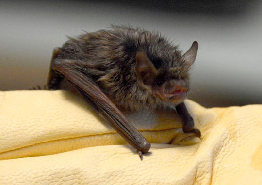 A young silver-haired bat.