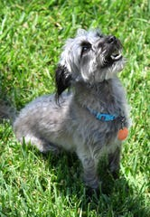 Chance, a 2 1/2 - year-old poodle/Schnauzer mix, was one day from being euthanized when he was adopted from a shelter. He has been through obedience training and is learning scent work.