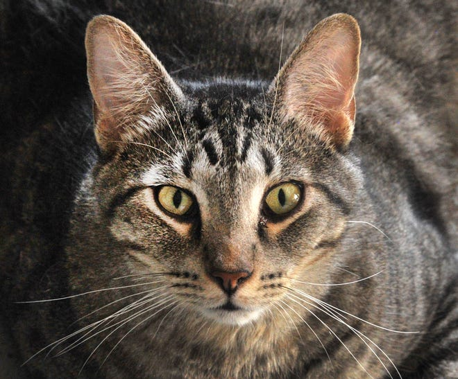 Meet Tigger. He is a 1-year-old grey tabby that is looking for his forever home. He is neutered, gets along with cats and people and can be seen at the Humane Society of Wichita County.