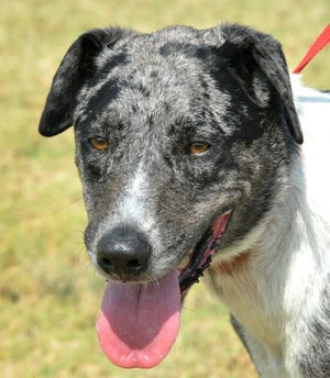 This is Angus. He is a 2-3-year-old Great Dane/mix that just can't wait to meet you. He is neutered and can be found at the Humane Society of Wichita County.