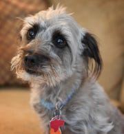 Chance is a 2 1/2 -year-old poodle/Schnauzer mix has taken several classes in obedience and other training.