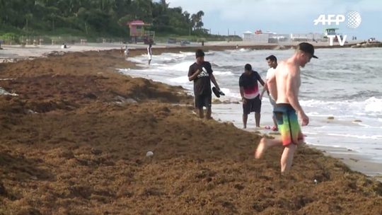 Sargassum seaweed, invader of Florida and Caribbean beaches, may be the 'new norm'