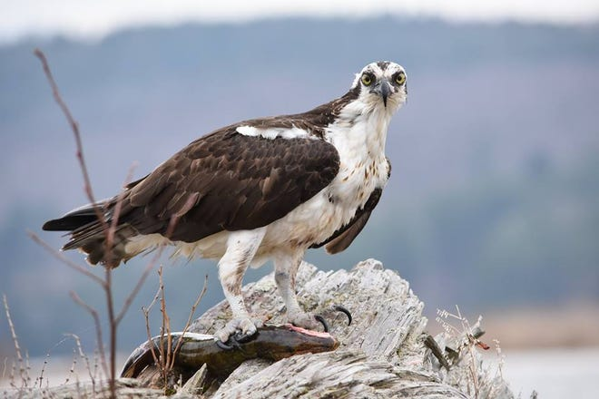 An osprey clutches a fish in its right talons. Last week in Carlsbad an osprey, which is a protected species, was shot and killed on Canal Street.