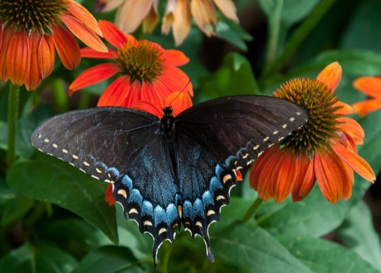 This female Eastern Tiger swallowtail finds Orange You Awesome echinacea to be the perfect feast. (Norman Winter/TNS)