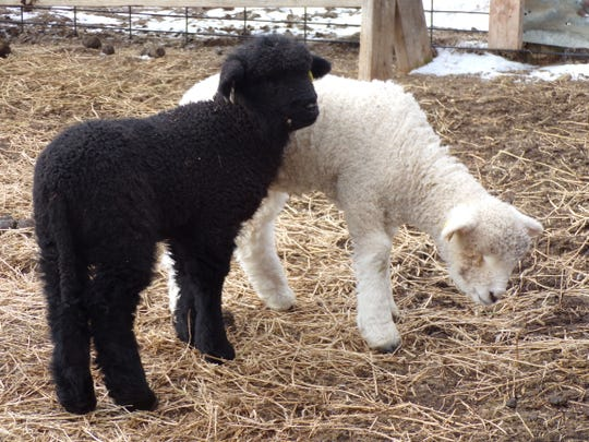 3L&S Farms, located a few miles from Overland Sheep in Jonesville, raises Romneys and these 2019 lambs may be included in the 2019 Michigan Flock Survey.