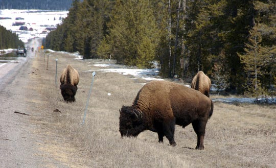 FILE - In this April 20, 2014, file photo bison graze along a state highway near West Yellowstone, Mont. Yellowstone park officials are investigating details of a video showing a man reaching over a railing to pet a bison on the head, and posted online July 8, 2019. Nobody was hurt but Yellowstone officials warned on Wednesday, Aug. 7, 2019, the outcome could have been different if the animal had charged. (AP Photo/Matthew Brown, File)