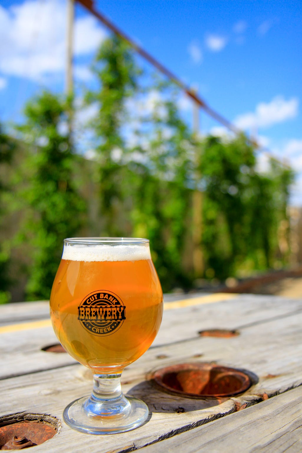 A craft brew in front of the hanging hops in the outside patio of the Cut Bank Creek Brewery