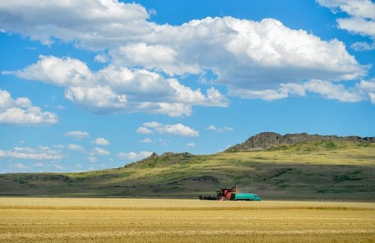 A wheat combine fills a grain truck near Cascade recently as harvest gets into full swing around the Golden Triangle.