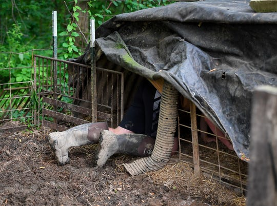 Hog farming sometimes requires you get down and dirty as Logan Darnell chases his pair of Hampshire-Yorkshire mix hogs out of their shelter during one the afternoon work-sessions Friday, May 10, 2019.