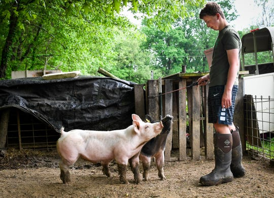 Getting to know his pair of Hampshire-Yorkshire mix hogs, Logan Darnell purposely doesn't give names to his hogs, just calling them Hog one and Hog two, because they are being raised for meat and he doesn't want to get to attached to them Wednesday, May 1, 2019.