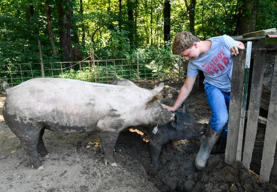 With the hogs, having grown to around 300 lbs., Logan Darnell has difficulty getting them to mind as he exercises them in their pen Friday, August 2, 2019.