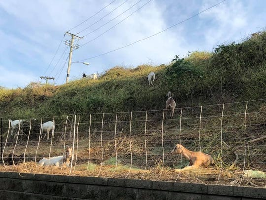 Goats are used as one of the methods to removing the invasive plant species Kudzu which is an ever-growing, vine-like plant that can be found throughout the Southeast. Goats eat until they get to the root, which completely stops the growth.