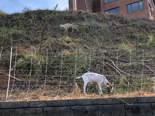 Goats were spotted off the Third Creek  greenway on the University of Tennessee's campus. These goats have been rented from a local farm to help eliminate kudzu, a vine-like invasive plant that has overgrown areas in the mostly the Southeast, but also in other areas of the U.S.