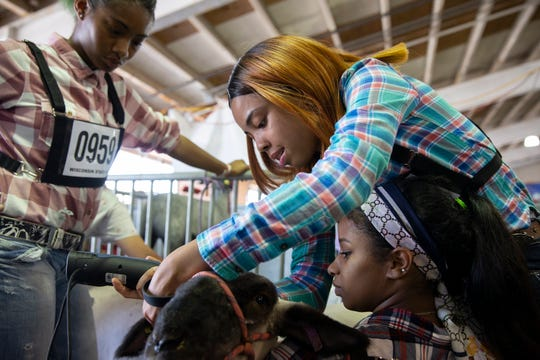 Tia Belle-Anderson, left, watches while Arianna Taylor helps touch up Kristine Blackwell's lamb with a hair trimmer just before presenting their lambs in class four of the Hampshire division in the Market Lamb Show at the Wisconsin State Fair on Wednesday. Their lambs' fur had been growing so quickly that the Vincent High School students had to touch up their fur each day of the fair with the trimmers.