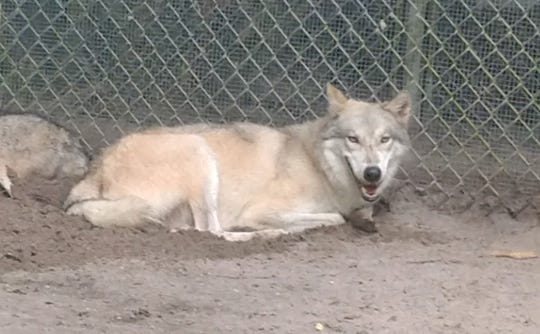Eva, a wolf-dog hybrid climbed a 10-foot fence and escaped the Shy Wolf Sanctuary Wednesday, Aug. 7, 2019.