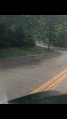 Glen Rock's mangy fox has been spotted by numerous residents.