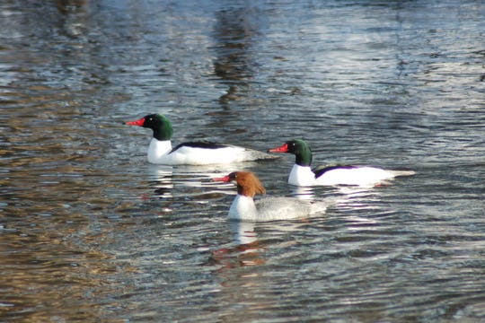 The Common Merganser is a member of the Duck family