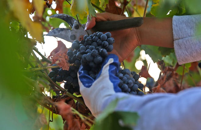 A volunteer working at Christoval Vineyards and Winery clips a bunch of grapes off a vine during harvest season Wednesday, August 7, 2019.