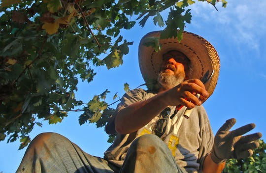 Dennis Dodson removes grapes from a vine during harvest season at Christoval Vineyards and Winery on Wednesday, August 7, 2019.