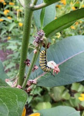 Although the monarch caterpillar is quite striking, it has a terrible taste and is avoided by birds.