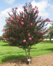 Delta Jazz, shown here as a patio tree, has maroon foliage and bright pink flowers.