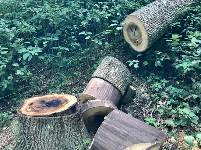 A tulip poplar tree on the Blue Ridge Parkway was cut down after a vandal did lethal damage to it.