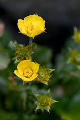 Geum radiatum is a member of the rose family known more commonly as spreading avens and is federally listed as endangered. It only grows in a few areas with open and exposed high elevation in North Carolina and Tennessee.
