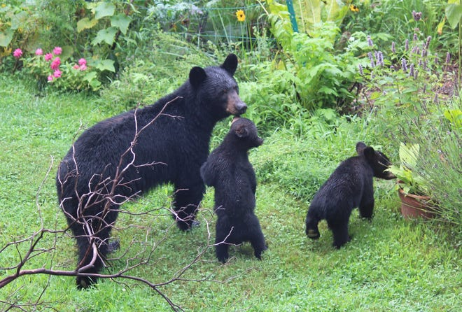 A family of bears near the garden of Lyndall Noyles-Brownell.