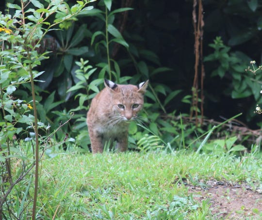 A bobcat creeps toward Lyndall Noyes-Brownell's garden.