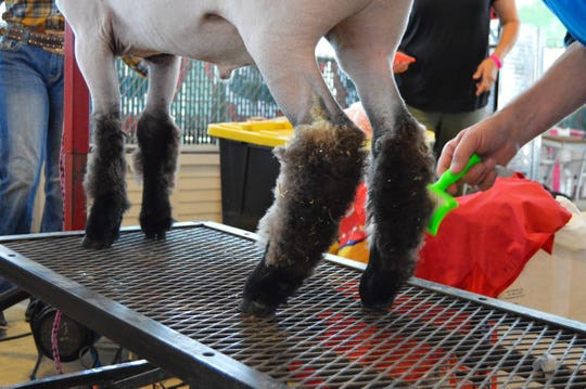 Before the show, exhibitors generally spend a few hours preparing their animals by giving them baths, a shearing, cleaning their ears and brushing the hair on their legs.
