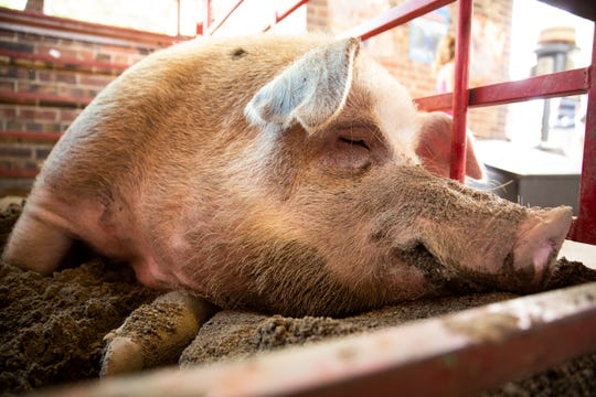 Captain, the Big Boar winner at 1254 pounds, sits in his pen at the Iowa State Fair on Thursday, Aug. 8, 2019 in Des Moines.