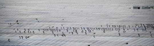 Birds perch on the solar field next to Babcock Ranch on Tuesday August, 6, 2019. The solar field powers Babcock Ranch. The electricity that is not used goes into the grid for consumption elsewhere.